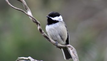 black capped chickadee on a branch outside