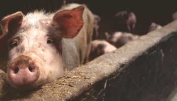 young pig in factory farm pen