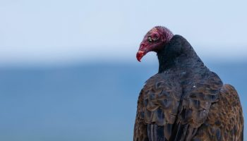 california condor with soft focus background