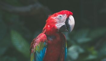 red parrot in the forest