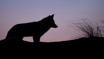 coyote silhouette against a sunset background