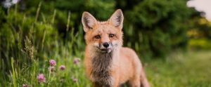 a fox in a field looking curious