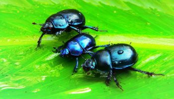 beetles on a green leaf