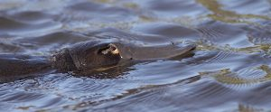platypus in water