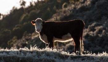 cow in frosty pasture