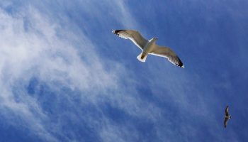 flying seagull from below with blue sky