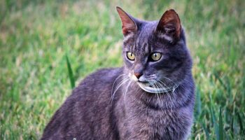 grey tabby cat with collar outdoors