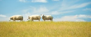 sheep in a field with blue sky