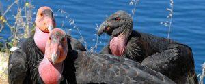california condors near the water