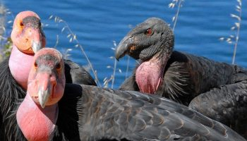 california condors near the water