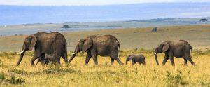 family of elephants walking through a field