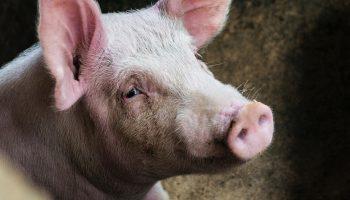 pig plain background