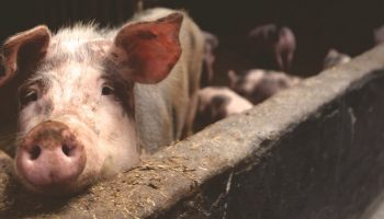 pig in a factory farm