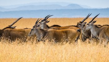 antelope in field