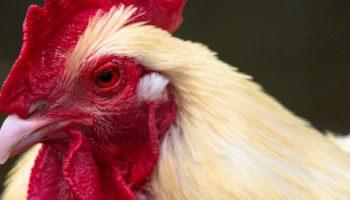 chicken close up portrait