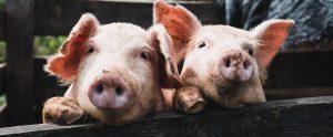 pigs in sty