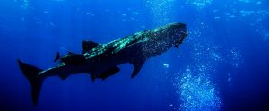 whale shark in the water