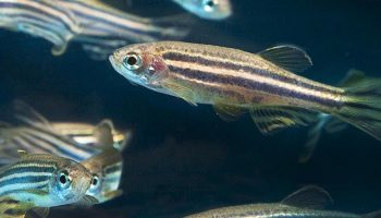 zebrafish in water