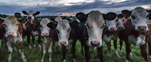 cows in a field in ireland