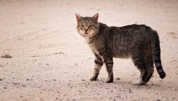 feral cat on road