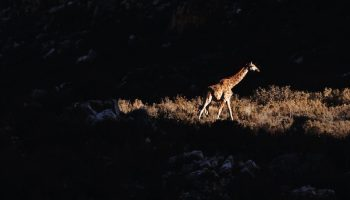 giraffe in sunlight