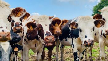 cows in a line