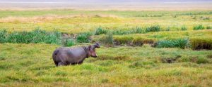 hippopotamus in a field