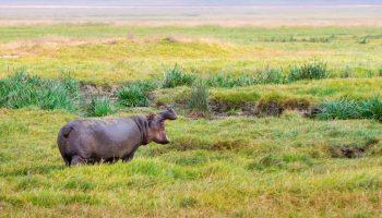 hippopotamus in a field