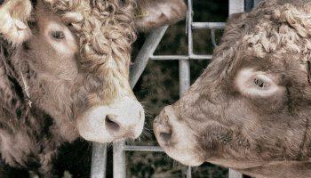 cows in a feeding mechanism
