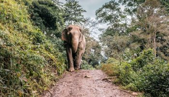 elephant on path