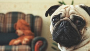pug in living room