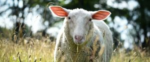 sheep at Farm Sanctuary