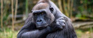 ape in zoo