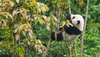 giant panda in trees