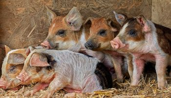 pigs in a group