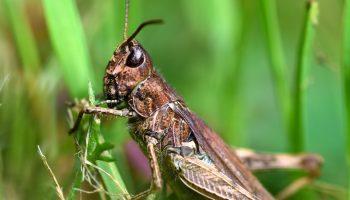 brown grasshopper in grass