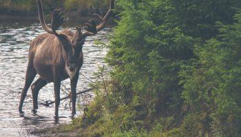 caribou in stream