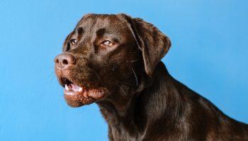 dog on blue background