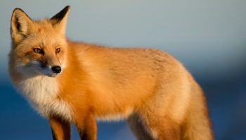 fox on hill