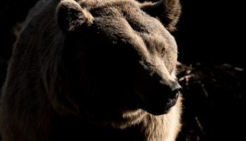 grizzly bear moody