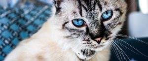 cat with very blue eyes