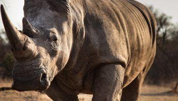 white rhinos veld