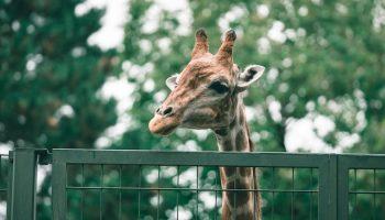 giraffe in cage