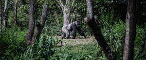 gorilla walking in the forest