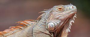 iguana brown background