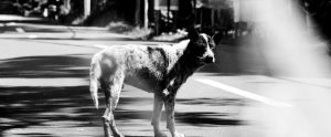 street dog black and white