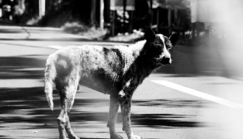 street dog black and white