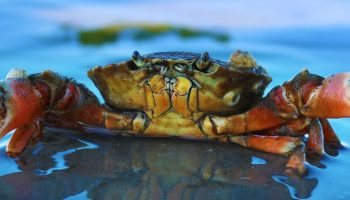 live crab in water
