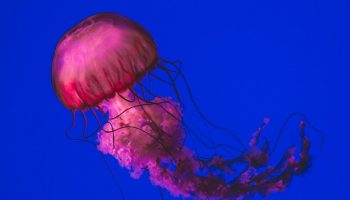 pink jellyfish in blue water