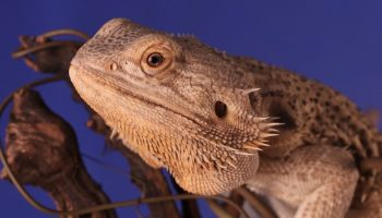 bearded dragon on wood